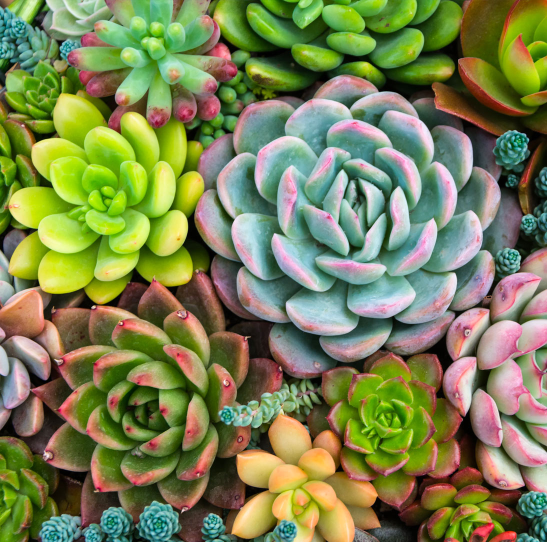 succulent02